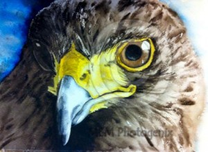 Water colour painting of a Harris Hawk