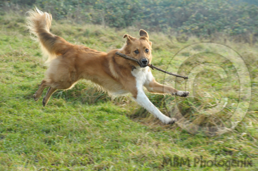 Running dog with a stick