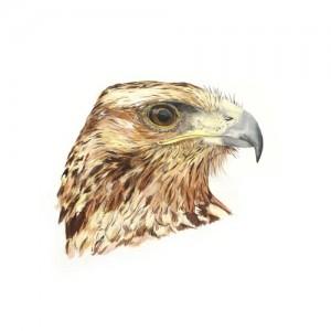 Original acrylic painting of a Chilean Blue Eagle Portrait by Mandi Baykaa-Murray