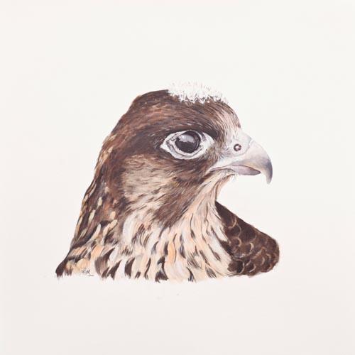 Original acrylic painting of a Juvenile Peregrine Falcon Portrait by Mandi Baykaa-Murray