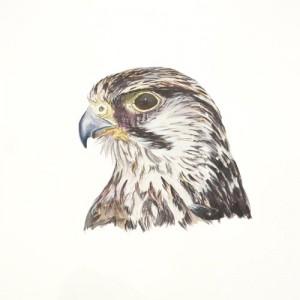 Original acrylic painting od a Lanner Falcon Portrait by Mandi Baykaa-Murray