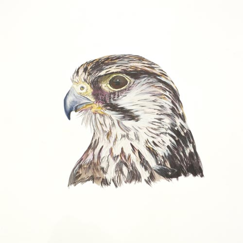 Original acrylic painting od a Lanner Falcon Portrait by Mandi Baykaa-Murray