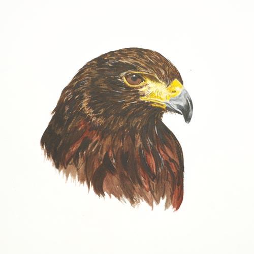 Original Acrylic painting of a Harris Hawk Portrait by Mandi Baykaa-Murray