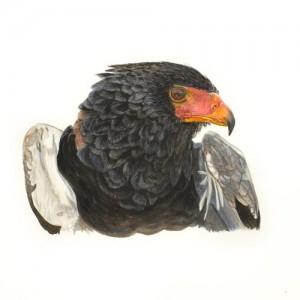 Acrylic painting of a Bateleur Eagle Portrait by MAndi Baykaa-Murray